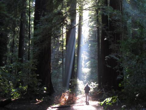 Photo : Forêt de Sequoias Red Wood avec un promeneur