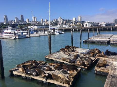 [Photo : colonie sea lions et marina à Fisherman's Wharf]